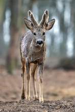 Close Up Baby Deer In Forest