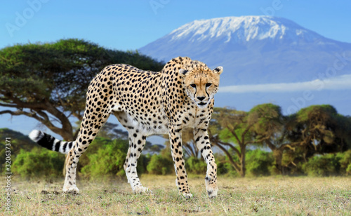 Wild african cheetah on Kilimanjaro background Fototapete