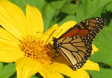 Monarch Butterfly On Yellow Fl...