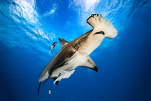 Great Hammerhead Diving In The...