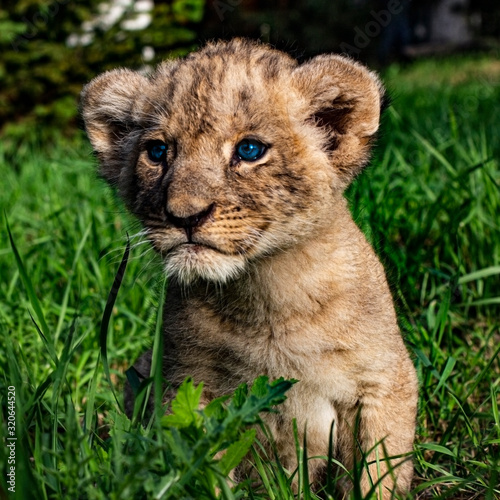 Fotografie, Obraz Little lion cub with blue eyes in the wild