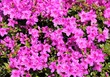 Leinwanddruck Bild - Pink azalea.