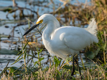 Adult Snowy Egret (Egretta Thula), Shark Valley, Everglades National Park, Florida