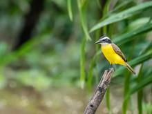 Adult Lesser Kiskadee (Pitangu...