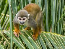 Adult Common Squirrel Monkey (Saimiri Sciureus), In San Francisco Village, Amazon Basin, Loreto, Peru