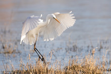 Great White Egret Landing