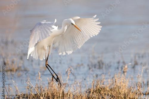 Photo Great white egret landing