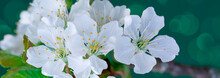 Blooming White Flowers Of Cherry Trees In The Spring.