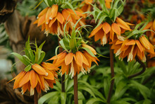Crown Imperial Flowers