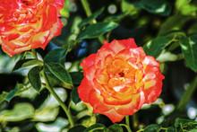 Beautiful Peace Rose - Close-u...