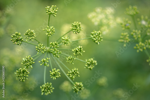 Valokuva Umbelliferous blossom of fennel before blossoming
