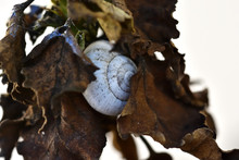 Small White Snail Among The Le...