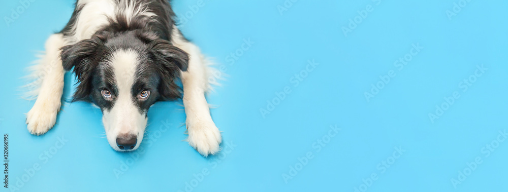Fototapeta Funny studio portrait of cute smilling puppy dog border collie isolated on blue background. New lovely member of family little dog gazing and waiting for reward. Pet care and animals concept Banner