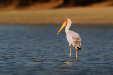 Yellow-billed Stork - Mycteria Ibis Also Wood Stork Or Ibis, Large African Wading Stork Species Family Ciconiidae, Widespread South Of The Sahara And Madagascar, White Bird With Yellow Beak