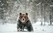 Adult Male Of Brown  Bear Walk...