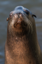 Steller Sea Lion Portrait