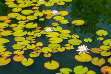 White Water Lilies On Tranquil...