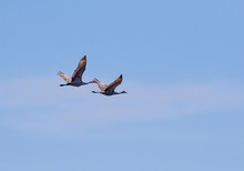The Sandhill Cranes In Flight,...