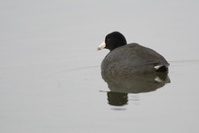 American Coot Swimming Floating In Water .