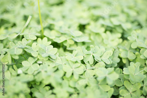 Beautiful green clovers with colorful bokeh