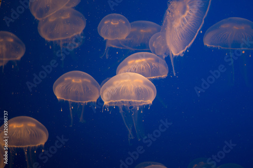 Photo Beautiful Jellyfish drifting at the Monterrey Bay Aquarium