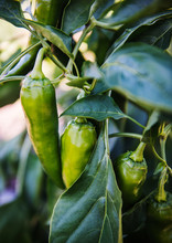 Spicy Green Peppers Growing On...
