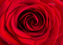 Close-up Of Red Rose. Beautifu...