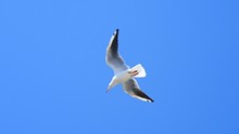 Seagull Soaring In The Clean B...