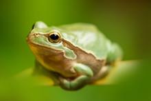 European Green Tree Frog In The Natural Environment, Wildlife, Wild Animal, Hyla Arborea, Close Up, Detail