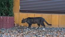 Cat Walking Around The House