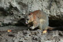 Native Australian Possums In H...