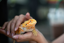 An Yellow Bright Colorful Igua...