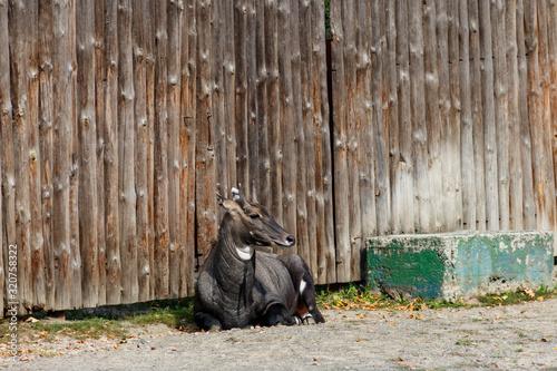 Antelope Nilgai or Blue Bull (Boselaphus Tragocamelus) Canvas Print