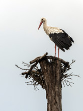 The White Stork Is A Friend Of...
