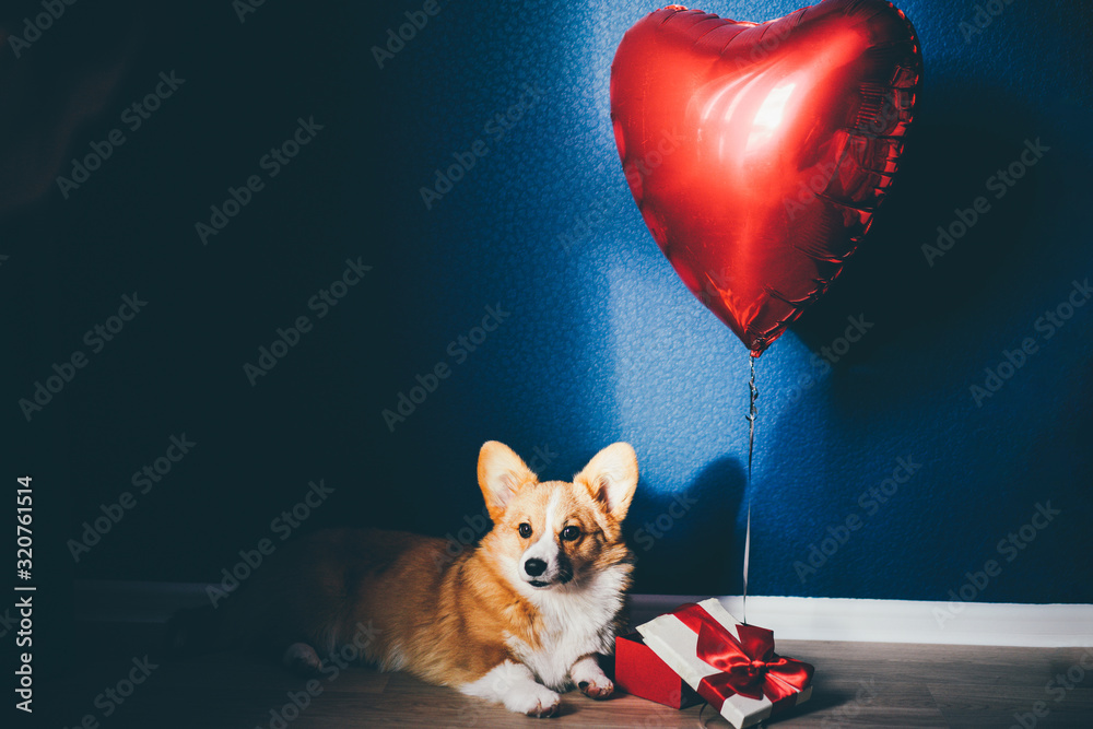 Fototapeta Happy Valentine's Day concept. Lovely corgi dog with a red heart.