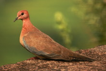 Laughing Dove (Streptopelia Se...