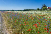 Blue Cornflowers And Red Field...