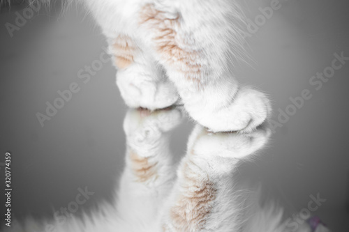 Obraz fluffy paws of a maine  coon cat standing on mirror - fototapety do salonu