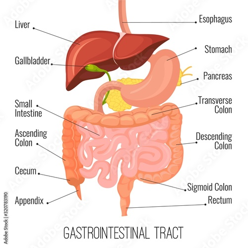 Photo Gastrointestinal tract
