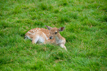 Close Up On Baby Deer On The G...
