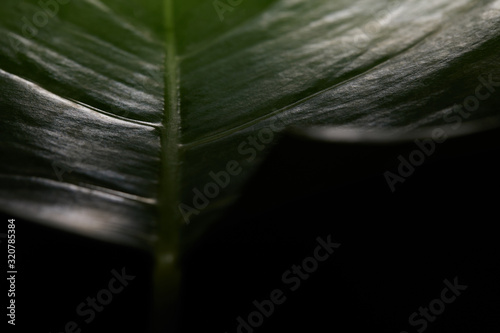 Close up view of green textured leaf on black background