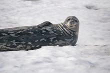 Dangerous Leopard Seal On Ice ...