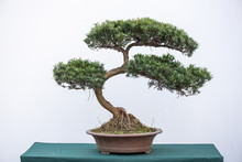 Curved Bonsai Pine Tree Agains...