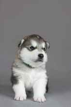 Alaskan Malamute Puppy In Stud...