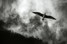 Seagull In The Sky With Clouds...