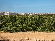 Artichokes Growing In A Field ...
