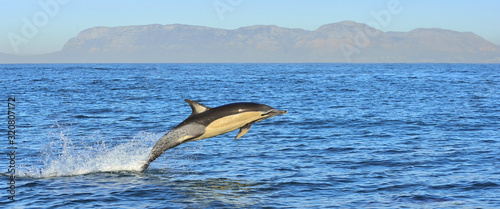 Photo Dolphin, swimming in the ocean and hunting for fish