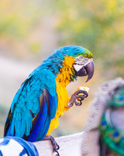 A Large  Colored Parrot Eats B...