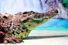 Crocodile Head With Toothy Mou...