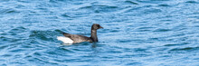 Canada Goose Swimming In The S...